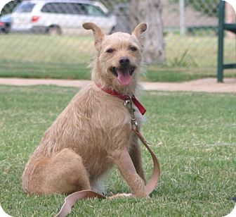 Schnauzer (Standard)/Jack Russell Terrier Mix Dog for adoption in Enid, Oklahoma - Hobo