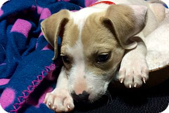 Beagle/Pug Mix Puppy for adoption in HAGGERSTOWN, Maryland - CARMELLA