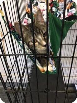 Domestic Shorthair Kitten for adoption in Branson, Missouri - Socks