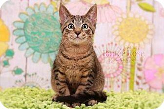 Domestic Shorthair Kitten for adoption in Sterling Heights, Michigan - Herbert