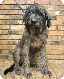 Bouvier des Flandres Mix Dog for adoption in Benbrook, Texas - Sadie