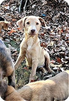 Labrador Retriever Mix Puppy for adoption in North Brunswick, New Jersey - Amber