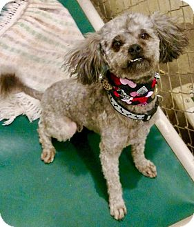 Pekingese/Poodle (Miniature) Mix Dog for adoption in Franklin, Indiana - Curly