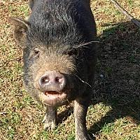 Adopt A Pet :: Penelope - Gallatin, TN