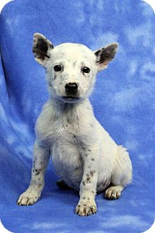 Anatolian Shepherd Mix Puppy for adoption in Westminster, Colorado - KEITH