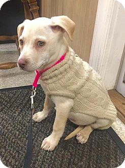 Labrador Retriever/Catahoula Leopard Dog Mix Puppy for adoption in Smithtown, New York - Amaretto