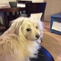 Adopt A Pet :: ZZ-Teddy *courtesy post - Rancho Santa Margarita, CA