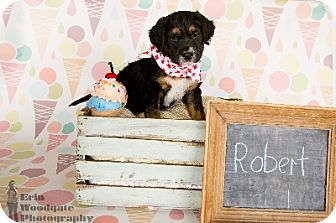 Australian Cattle Dog/Blue Heeler Mix Puppy for adoption in Duart, Ontario - Robert