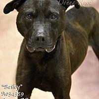 Mastiff Mix Dog for adoption in Newnan City, Georgia - Bailey