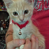 Domestic Shorthair Kitten for adoption in Asheville, North Carolina - Buttercup- McDowell