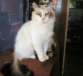 Siamese Cat for adoption in Princeton, New Jersey - JuJu