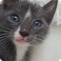 Adopt A Pet :: Mittens 6 - Austin, TX