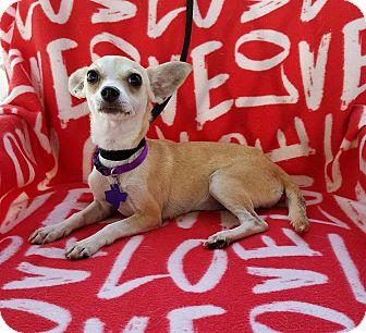 Chihuahua Mix Dog for adoption in San Antonio, Texas - Kaydia