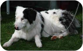 Australian Shepherd/Border Collie Mix Dog for adoption in Mesa, Arizona - Nola