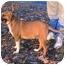 Photo 3 - Basenji/Shepherd (Unknown Type) Mix Dog for adoption in Tyler, Texas - AA-Oliver