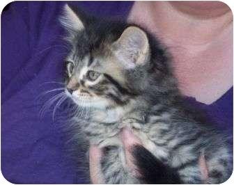 Domestic Mediumhair Kitten for adoption in Livonia, Michigan - Smokey Joe - Adoption Pending