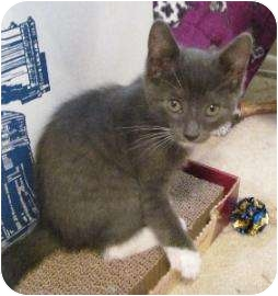 Domestic Shorthair Kitten for adoption in Schertz, Texas - Ellie