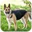 Photo 2 - German Shepherd Dog Dog for adoption in Howell, Michigan - Sammi- video