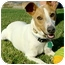 """Photo 3 - Basenji/Fox Terrier (Smooth) Mix Dog for adoption in Memphis, Tennessee - """"CF"""""""