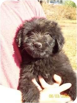 Poodle (Standard)/Labrador Retriever Mix Puppy for adoption in berwick, Maine - Siquoya