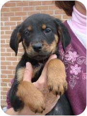 Shepherd (Unknown Type)/Beagle Mix Puppy for adoption in Baltimore, Maryland - Kurt