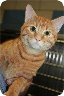 Domestic Shorthair Cat for adoption in Bedford, Texas - Orange Crush