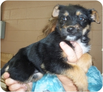 Terrier (Unknown Type, Small) Mix Dog for adoption in Gaffney, South Carolina - Giggles