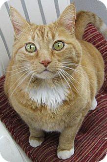 Domestic Shorthair Cat for adoption in Republic, Washington - Amber - NO FEE