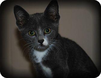 Domestic Shorthair Kitten for adoption in Yuba City, California - Abby