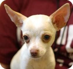 Chihuahua Puppy for adoption in Castro Valley, California - Marley