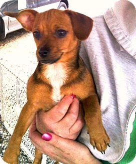 Chihuahua Mix Puppy for adoption in maryville, Tennessee - Snoopy