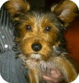 Yorkie, Yorkshire Terrier Mix Puppy for adoption in Lancaster, Texas - Snickers