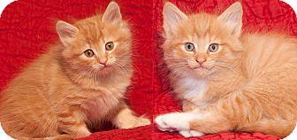 Domestic Mediumhair Kitten for adoption in Steilacoom, Washington - Sherman & Nelson