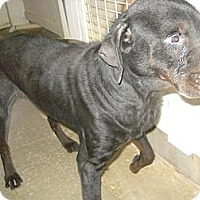 Adopt A Pet :: Bear - Windsor, MO