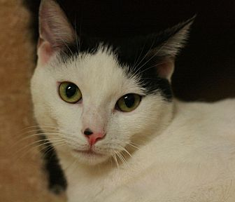 Domestic Shorthair Cat for adoption in Canoga Park, California - Nancy
