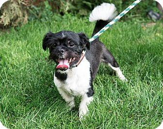 Terrier (Unknown Type, Small)/Shih Tzu Mix Dog for adoption in Wethersfield, Connecticut - Iggy (Adoption Pending)