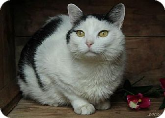 Domestic Shorthair Cat for adoption in Germantown, Maryland - Julianna