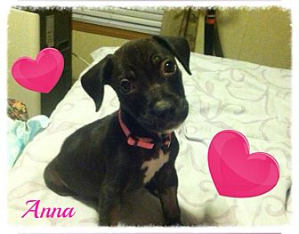 Pit Bull Terrier Mix Puppy for adoption in Youngwood, Pennsylvania - Anna