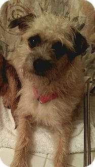 Terrier (Unknown Type, Small)/Poodle (Toy or Tea Cup) Mix Dog for adoption in Manassas, Virginia - T.J.