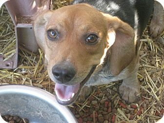 Beagle Mix Dog for adoption in Derry, New Hampshire - Benson