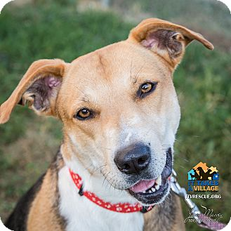 Shepherd (Unknown Type) Mix Dog for adoption in Evansville, Indiana - Indy