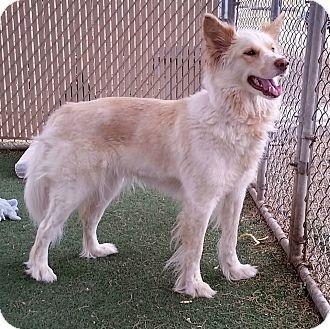 Border Collie/Siberian Husky Mix Dog for adoption in Apache Junction, Arizona - MYSTERY
