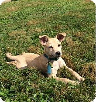 Labrador Retriever Mix Puppy for adoption in Redding, Connecticut - Amanda