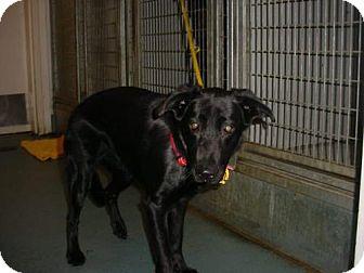 Labrador Retriever Mix Dog for adoption in Olympia, Washington - 37761