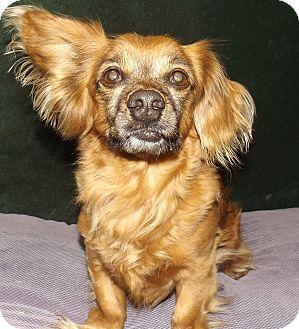 Cocker Spaniel/Dachshund Mix Dog for adoption in Taylorsville, Utah - Teddy