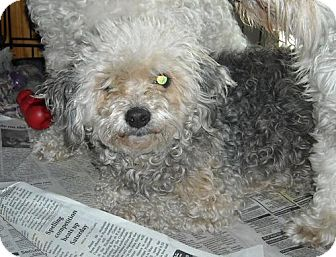 Shih Tzu/Poodle (Miniature) Mix Dog for adoption in Conway, Arkansas - JADE