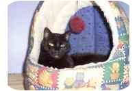 Domestic Shorthair Cat for adoption in Oakland, New Jersey - Polly
