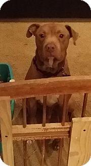 Pit Bull Terrier/Staffordshire Bull Terrier Mix Dog for adoption in Flower Mound, Texas - Lieutenant Dan