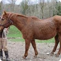 Quarterhorse Mix for adoption in Quilcene, Washington - Big Red
