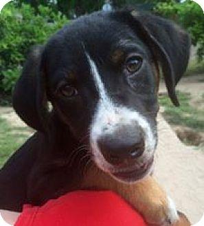 Labrador Retriever/Shepherd (Unknown Type) Mix Puppy for adoption in Plano, Texas - Josie